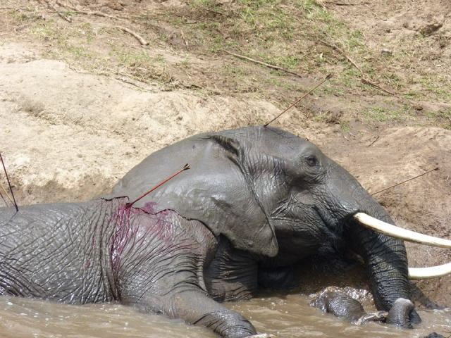 Elephant attacked by farmers on land outside conservancies